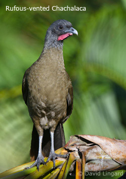 Rufous-vented Chachalaca